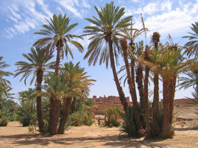 Desert oasis with palm trees – Zagora – Draa valley – Morocco