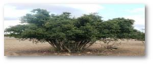 arbre-d'argane-1