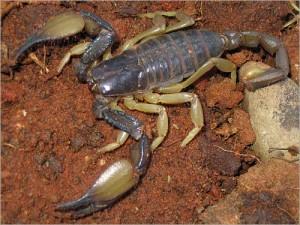 scorpion_mice_1