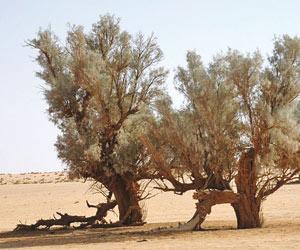 شجرة الآثل بمرزوكة ودورها في محاربة التصحر