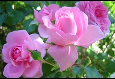 كواليس مهرجان الورود