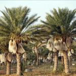 138 مليون درهم لمشروعي تنمية واحات أشجار النخيل بمنطقة فم زكيد