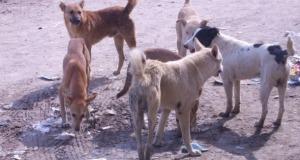 زاكورة: ساكنة أولاد يحيى لكراير تشتكي انتشار الكلاب الضالة