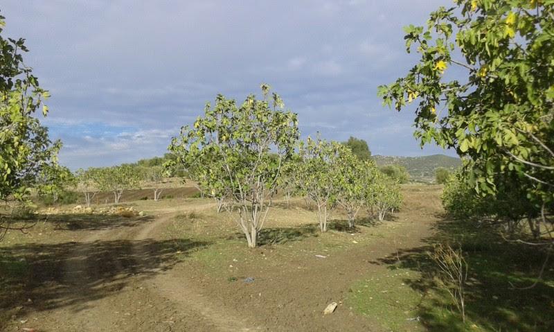 فلاحة أشجار التين المغربيّة المهددة بالخطر قد توفّر  الأمن الغذائي  للمغاربة الريفيين-1