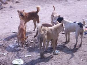 الكلاب-الضالةة