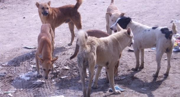 تمكروت: ساكنة الجماعة تحت ارهاب الكلاب الضالة