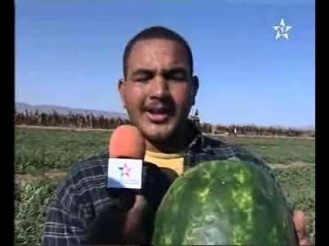 جني البطيخ الاحمر بزاكورة