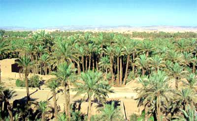 في زمن مخطط المغرب الأخضر٬ لا زال للعرف والتقاليد الكلمة الفصل في زراعة نخيل التمور في واحات درعة