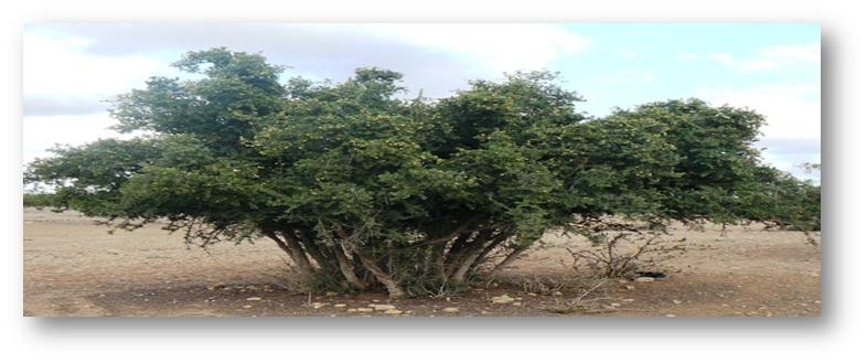 شجرة الأركان إرث الأجداد وعراقة الأرض – Agourram Khalid