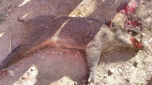 ورزازات: معطيات جديدة بخصوص واقعة  الخنزير البري بدوار أفرى جماعة إدلسان