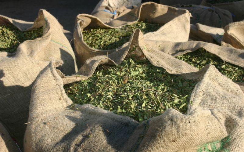 55 مليون درهم لتنمية سلسة إنتاج الحناء في إقليم زاكورة ضمن مخطط المغرب الأخضر