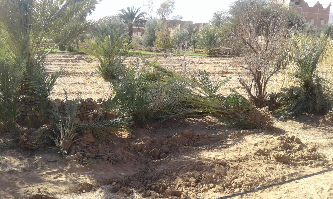 زاكورة : توسيع الطريق الوطنية رقم9 و اجتثاث أشجار النخيل و صمت جمعيات حماية البيئة